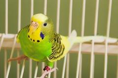 Parakeet стоковые изображения