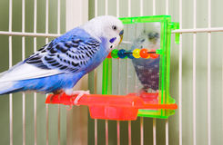 Parakeet Royalty Free Stock Photos
