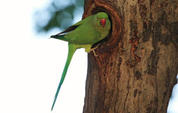 parakeet Στοκ Φωτογραφία