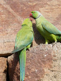 Parakeet. A parakeet feeding her young one Stock Photography