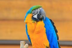 parakeet Fotografía de archivo