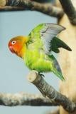 parakeet Imagen de archivo