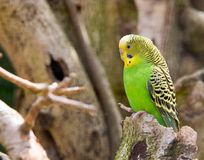 Parakeet Stock Photo