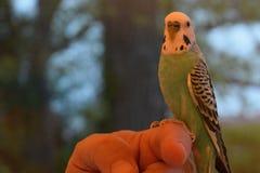 parakeet Στοκ Φωτογραφίες