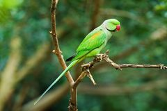 Parakeet Alexandrine стоковое изображение
