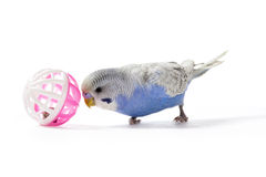 Parakeet allegro Fotografie Stock