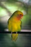 Parakeet amarelo - República Dominicana Fotografia de Stock Royalty Free