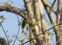 Parakeet Anaranjado-afrontado Imagenes de archivo