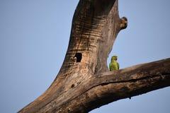 Parakeet anellato della Rosa fotografie stock libere da diritti
