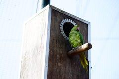 Parakeet Anillo-necked Fotos de archivo