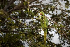 Rose-ringed parakeet parrot swinging, eating on tamarind tree in Djibouti East Africa Stock Image
