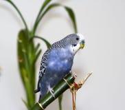 Parakeet azul Fotografia de Stock