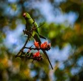 Parakeet bagué de Rose photographie stock libre de droits