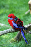 parakeet banderka s Obrazy Royalty Free