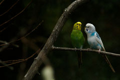 Parakeet Birds in conversation. Two birds, parakeets?, having a conversation, or singing to one another Royalty Free Stock Photo