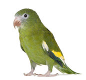Parakeet Blanco-con alas, versicolurus de Brotogeris Imagen de archivo