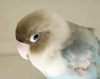 Parakeet blessé Images stock