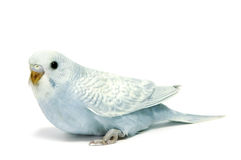 Parakeet breeding. A blue parakeet breeding isolated on a white background stock image