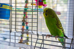 Parakeet in a cage Stock Photo