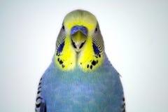 Parakeet Portrait. Closeup of a yellow and blue parakeet Stock Photos