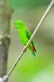 Parakeet colgante vernal Fotos de archivo libres de regalías