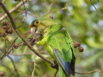 Parakeet. A colourful parakeet perched on a tree eating nuts with it's feet Stock Images