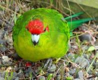 Parakeet coroado vermelho Fotos de Stock