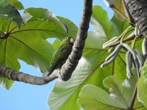 Parakeet in Costa Rica stock image