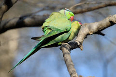 Parakeet couple mating. Royalty Free Stock Photography