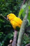Parakeet d'or photographie stock