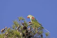 Parakeet d'Alexandrine photo libre de droits