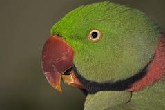 Parakeet d'Alexandrine Image stock