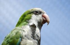 Parakeet da monge (Myiopsitta Monachus) Foto de Stock Royalty Free