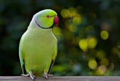 Parakeet de Kakariki photographie stock