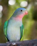 Parakeet de la princesa Imagen de archivo libre de regalías