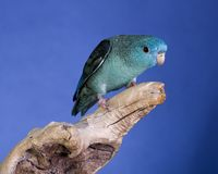 Parakeet de Lineolated Photo stock