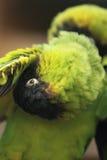 Parakeet de Nanday photographie stock libre de droits
