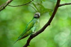 Parakeet de pecho rojo (hembra) Imagenes de archivo