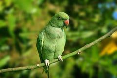 Parakeet de Ringneck Photo libre de droits