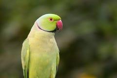 Parakeet de Ringnecked photos stock
