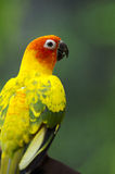 Parakeet de Sun Fotografia de Stock Royalty Free