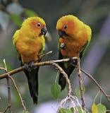 Parakeet de The Sun ou papagaios de Sun Conure Foto de Stock Royalty Free