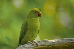 Parakeet del Alexandrine Imagen de archivo libre de regalías