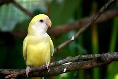Parakeet del regente que parece derecho fotografía de archivo libre de regalías