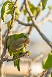 Parakeet della rana pescatrice (Myiopsitta Monachus) Fotografie Stock