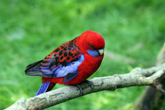 Parakeet des Wimpels Stockfotografie
