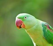 Parakeet di Alexandrine Immagine Stock Libera da Diritti