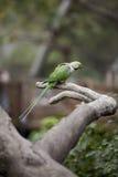 Parakeet di Alexandrine (eupatria dello Psittacula) Immagine Stock Libera da Diritti