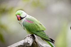 Parakeet di Alexandrine (eupatria dello Psittacula) Immagine Stock