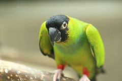 Parakeet di Nanday Fotografie Stock